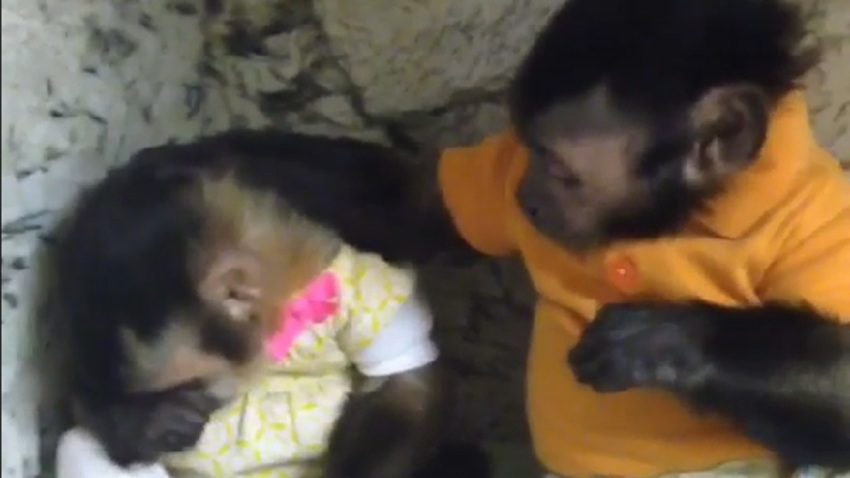 012215 comforting monkeys