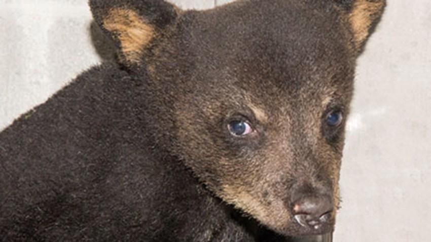 041316 rescued bear cub
