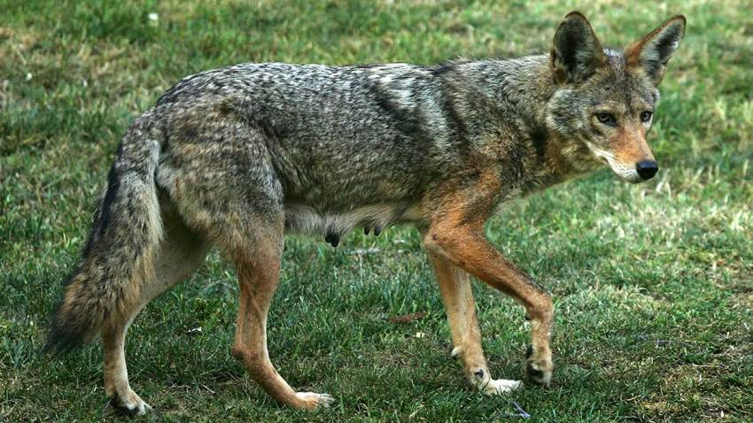 11252018-coyote
