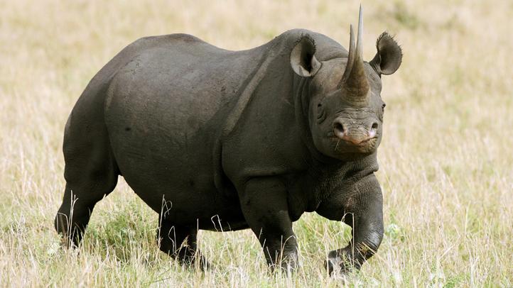 rhino-horn-fiberglass-fake-stolen