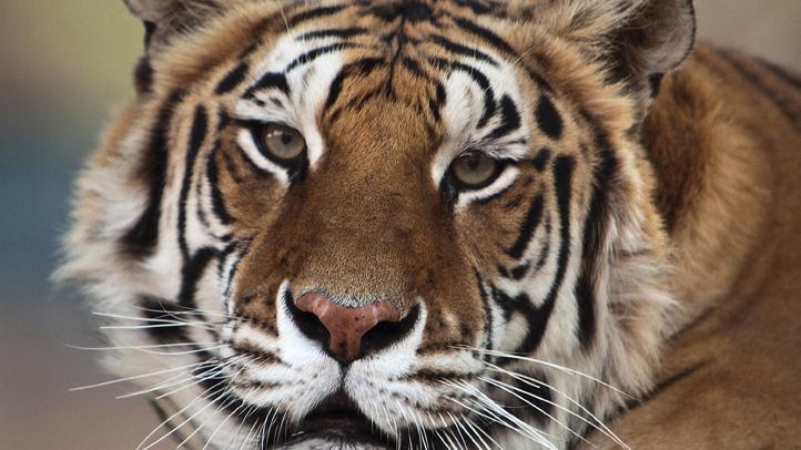 Michael Jacksons Tiger