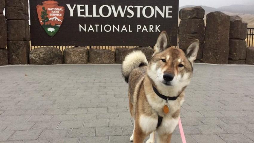 Attleboro Mayor Mura the Dog Yellowstone