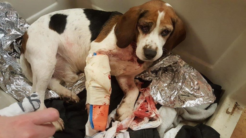 Beagle Highway Rescue