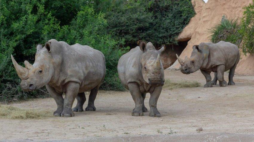 Bebop_endangered white rhino