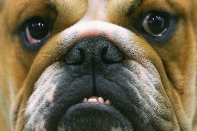 Bulldog_52374664