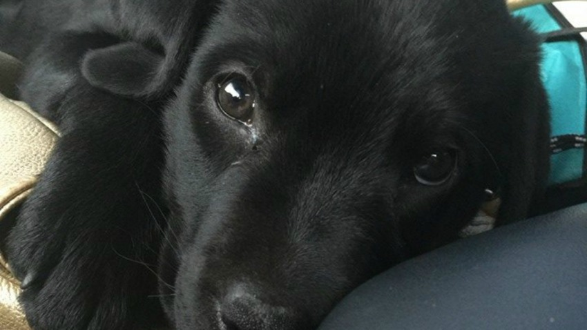 Cainan stolen puppy