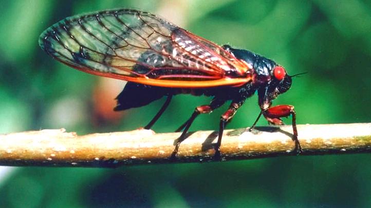 Cicadas_P1