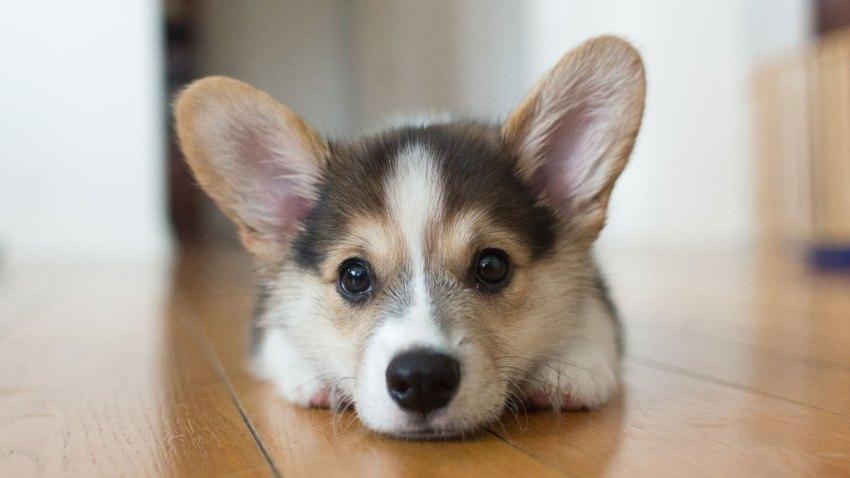 Corgi Dog Puppy Generic Stock