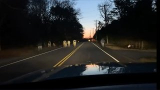 Cows on a road in Connecticut