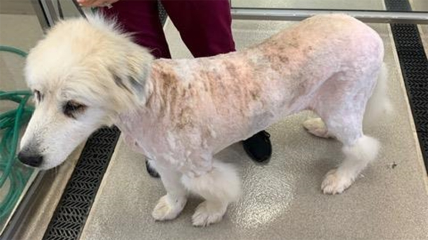 Dog seized from farm in Suffield is shaved