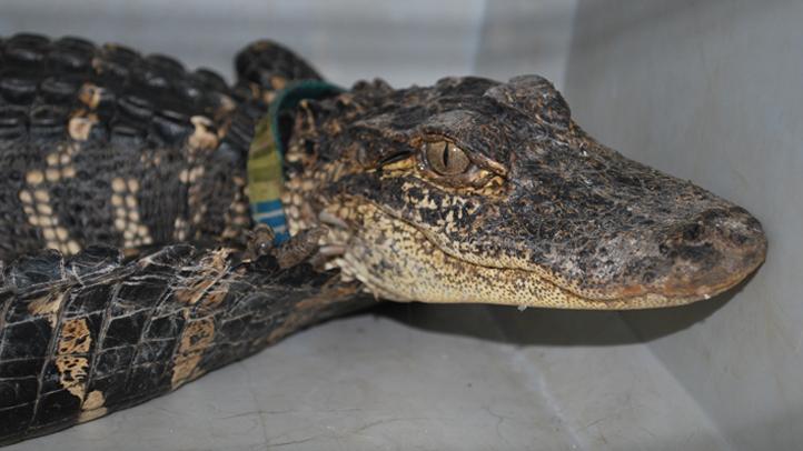 Enfield alligator 2