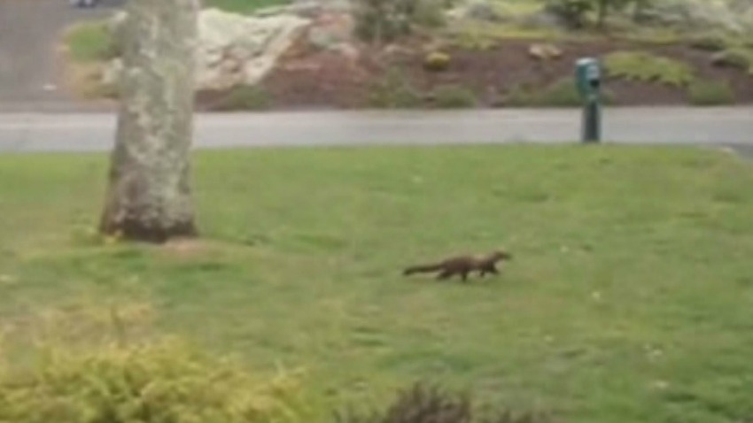 Fisher cat pic