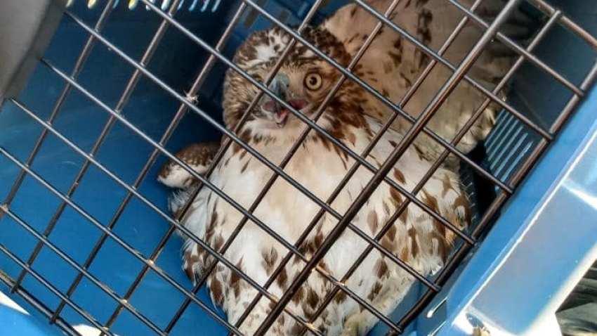 Hawk in a carrier