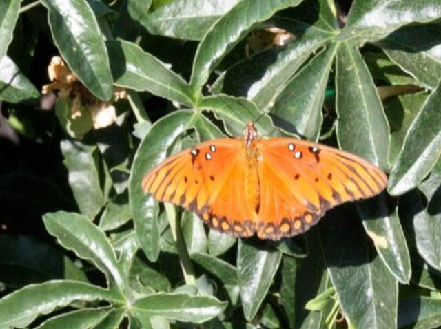 Butterfly in Santee