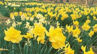 Meriden Daffodil Festival 2017
