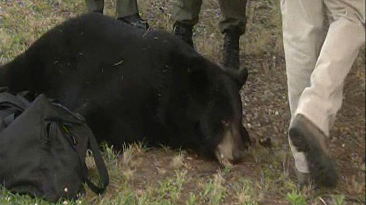 New Britain bear caught
