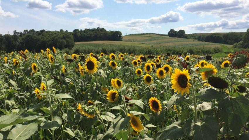 Sunflower Maze 1200