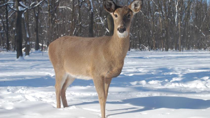[UGCCHI] Curious deer
