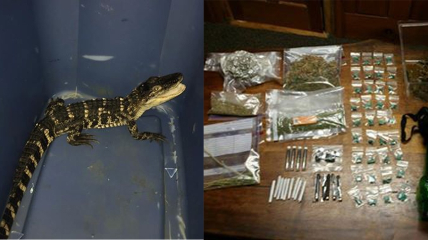 alligator-arrest