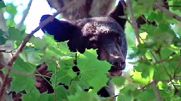 bear in tree1