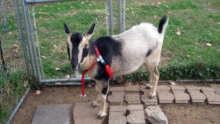 benny the goat