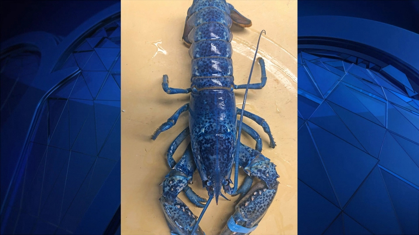 blue lobster with blue background