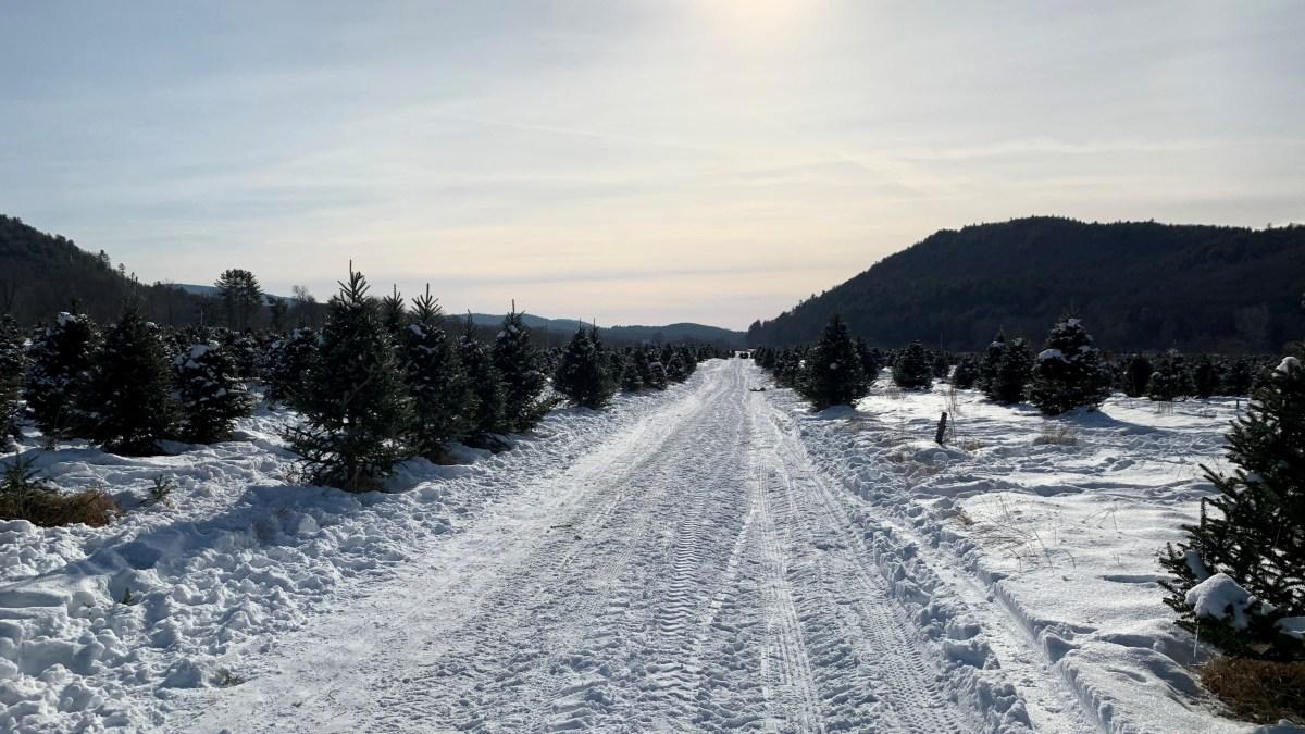 Christmas Tree Sale Concerns Among Local Farmers – NBC Connecticut