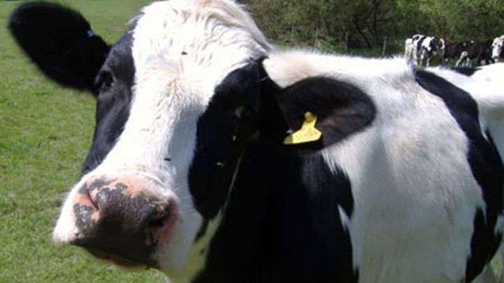 cow 722_edited-1