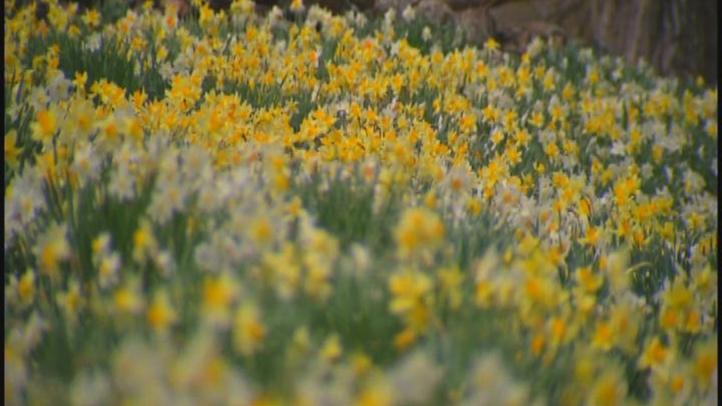 daffodilfest_722x406_1903047899.jpg