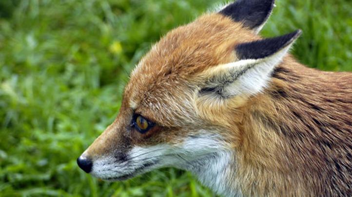 fox 722