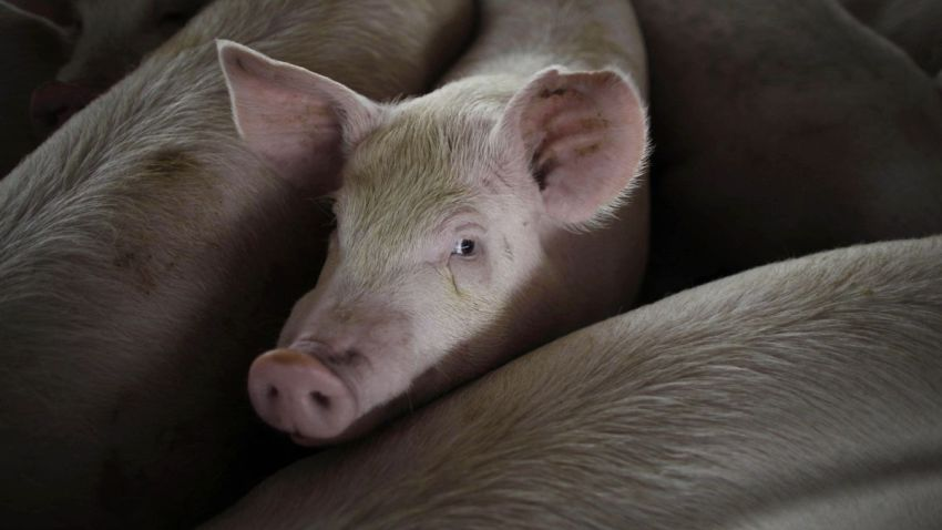 In this April 27, 2009, file photo, a pig is seen on a farm run by Granjas Carroll de Mexico on the outskirts of Xicaltepec in Mexico's Veracruz state.