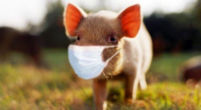 Swine Flu Continues to Strike Swabs – NBC Connecticut
