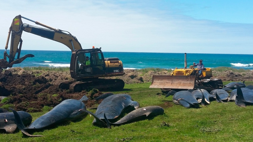 New Zealand Whale Stranding