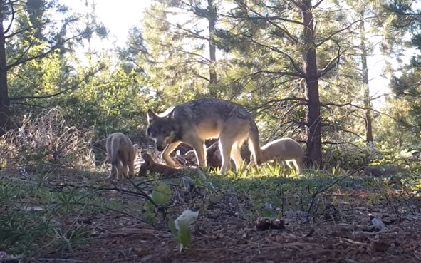 A female adult gray wolf, a yearling, and three pups walking in Lassen County in Northern California.