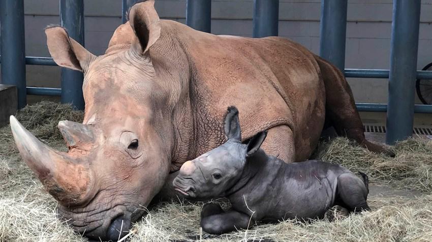 In this image provided by Walt Disney World, white rhinoceros Kendi, left, rests alongside her new baby, a male rhino born Oct. 25, 2020, at Disney's Animal Kingdom at Walt Disney World Resort in Lake Buena Vista, Fla.