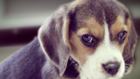 Pandemic Puppy Scams 'Skyrocketing': How to Sniff Out a Scam
