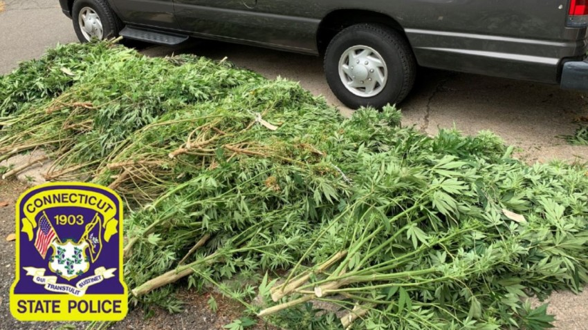 police display pot plants seized in eastern Connecticut