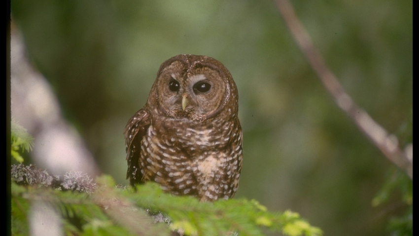 Northern spotted owl in old growth forest on Bureau of Land Management land, threatened-species, re logging depleting Northwestern forests habitat.