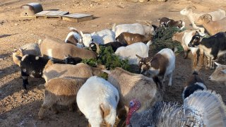 Goats at Aussakita Acres eating Christmas trees