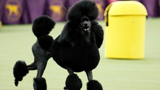 Siba, the standard poodle, competes for Best in Show during the 144th Westminster Kennel Club dog show, Tuesday, Feb. 11, 2020, in New York.