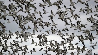 FILE - In this Dec. 13, 2019, file photo, thousands of snow geese take flight over a farm field at their winter grounds, in the Skagit Valley near Conway, Wash. The Biden administration on Monday, March 8, 2021, reversed a policy imposed under former President Donald Trump that drastically weakened the government's power to enforce a century-old law that protects most U.S. bird species. Trump ended criminal prosecutions against companies responsible for bird deaths that could have been prevented.