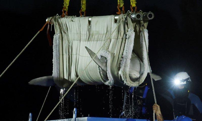 Five Beluga Whales Arrive at Mystic Aquarium After Flight From Canada