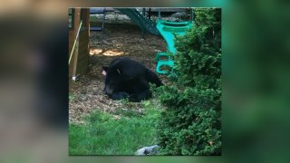 a black bear sits in a yard. A child's playscape can be seen in the background.