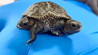 Rare 2-Headed Baby Turtle Thrives at Massachusetts Animal Refuge