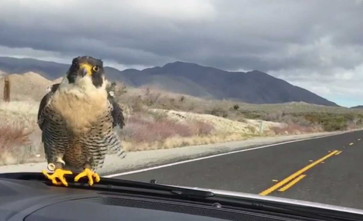 A falcon hitched a ride on the windshield of a car during a couple's road trip Jan. 3, 2017, in San Diego County, California.
