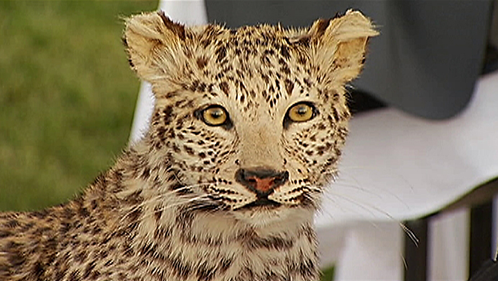 This stuffed snow leopard worth $250,000 was among items seized in a burglary from a mansion in La Habra Heights during a burglary that occurred sometime from Nov. 23-24, 2013.