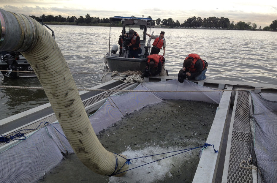 Thousands of baby salmon are being transported to the Sacramento Delta in tanker trucks.
