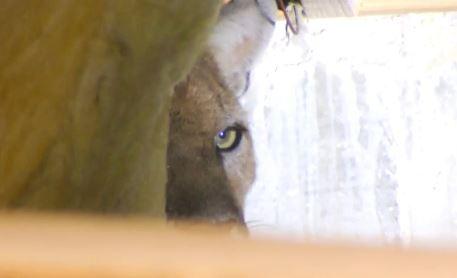 Mountain lion P-22, known for making Griffith Park his home, was found inside the crawl space of a Los Feliz home April 13, 2015.