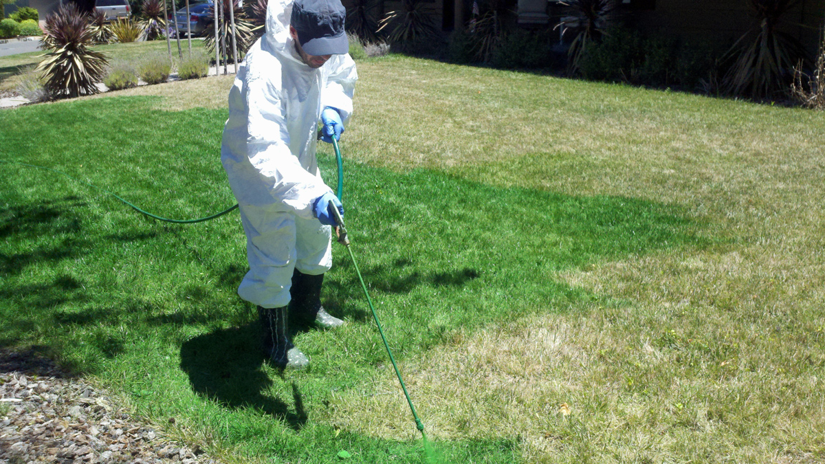 Los Gatos-based Green Canary specializes in painting browned grass green. Business is booming for the company due to California's severe drought.
