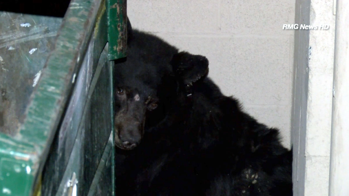 A black bear was caught on camera early Thursday Oct. 30, 2014 behind a trash bin in Lancaster.